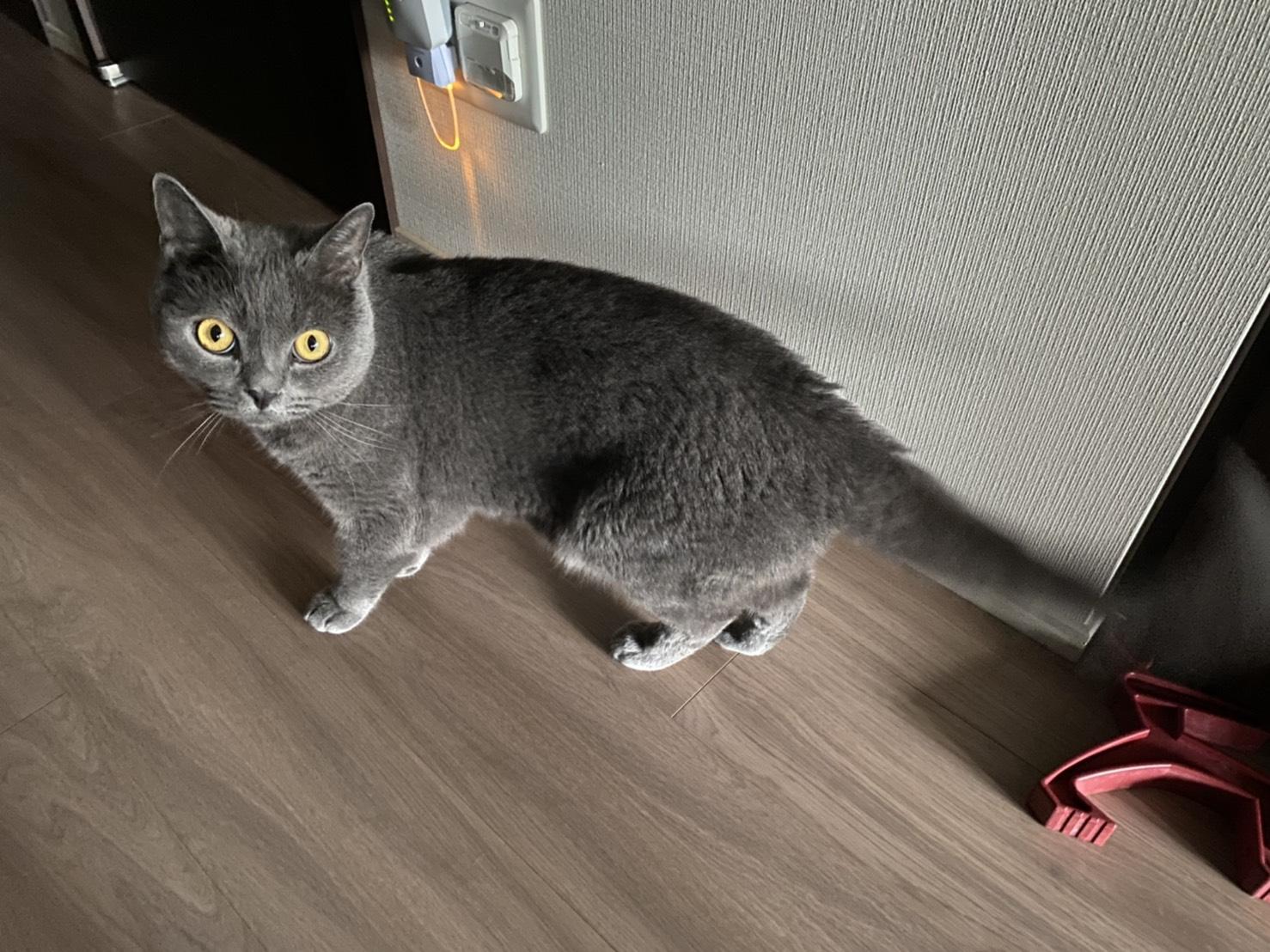 猫と遊んでくれるペットシッター 豊島区・世田谷区 ビッキー